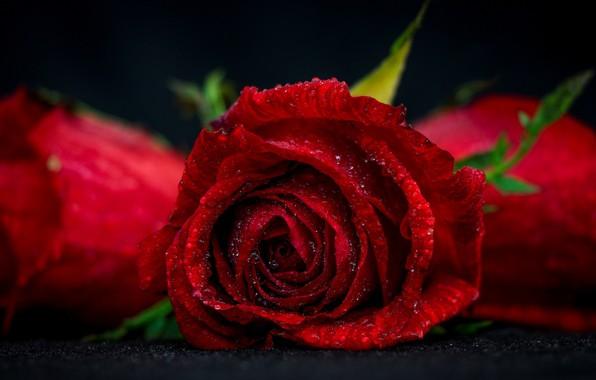 Picture flower, drops, macro, rose, Bud