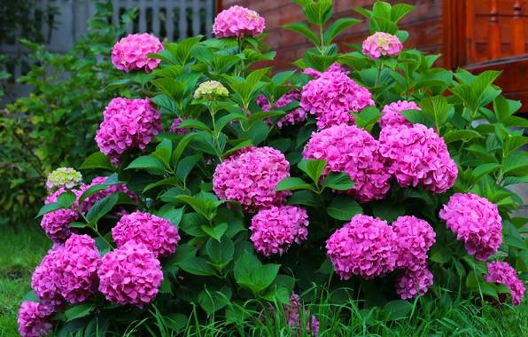 Picture beauty, flowering, autumn nature, cottage, bigleaf hydrangea