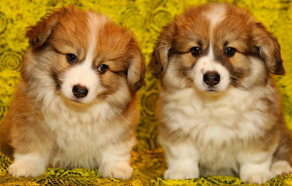 Picture dogs, yellow, background, portrait, puppies, fabric, fluffy, red, a couple, two, sitting, faces, mils