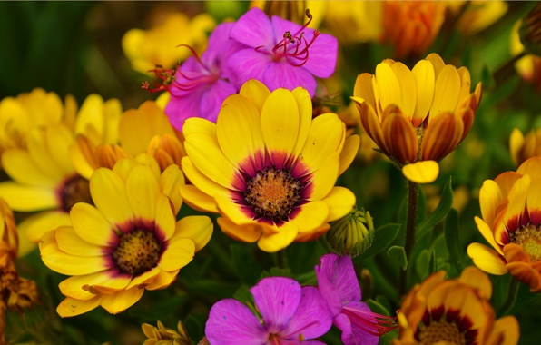 Picture Spring, Flowers, Flowers, Spring, Colors, Osteospermum