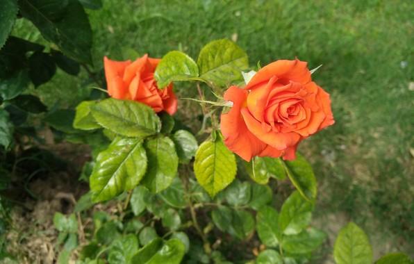 Picture Rose, Orange rose, Orange rose
