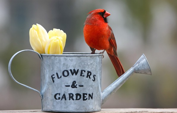 Picture flowers, background, bird, tulips, lake, buds, bokeh, Red cardinal