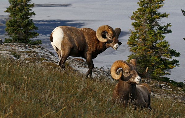 Picture nature, Canada, horns, RAM, bighorn sheep