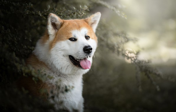 Picture language, look, face, portrait, dog, bokeh, Akita inu