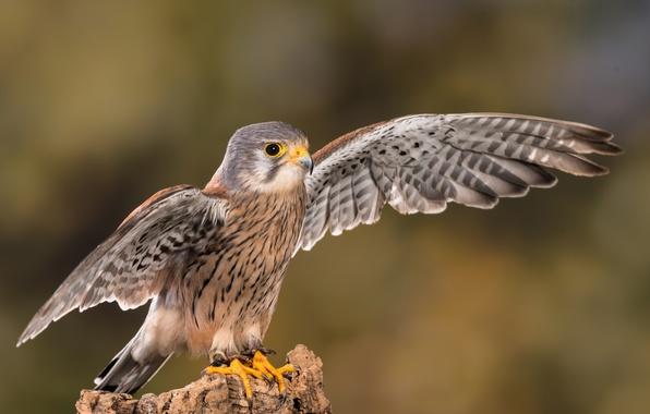 Picture close-up, background, bird, wings, feathers, beak, claws, Falcon, bokeh, Kestrel, Kestrel