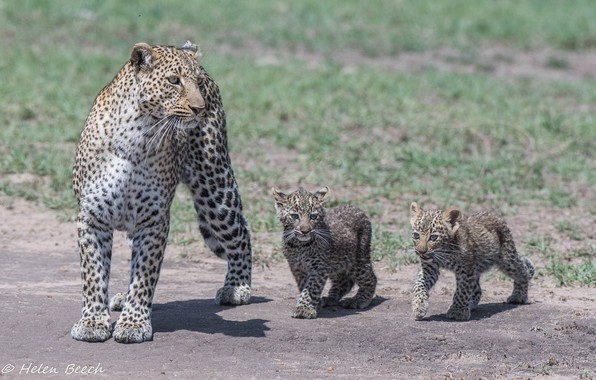 Picture predators, family, Africa, wild cats, trio, leopards, family, mother, cubs