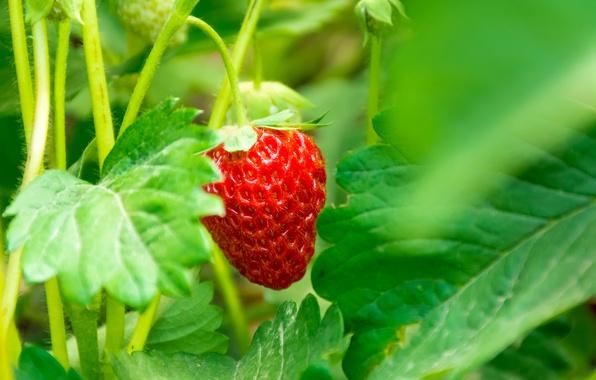 Picture macro, strawberry, berry