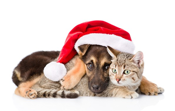 Picture cat, dog, New Year, Christmas, Christmas, dog, 2018, Merry Christmas, Xmas, funny, cute, decoration, santa …