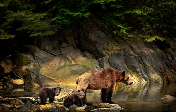 Picture animals, water, branches, nature, stones, bears, bears, bear, cubs, Michelle Valberg