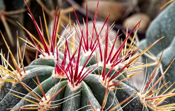 Picture macro, background, plant, cactus, barb, spikes, red needles