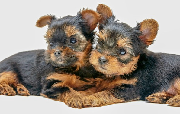 Picture puppies, white background, kids, a couple, Yorkshire Terrier, doggie