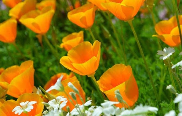 Picture Nature, Spring, Nature, Spring, Yellow flowers, Cerastium, Yellow flowers, Escholzia, California poppy