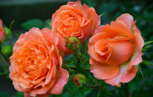 Picture Buds, Roses, Roses, Rain drops, Raindrops