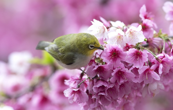 Picture flowers, bird, branch, spring, Sakura, white-eyed, white eye, white-eye