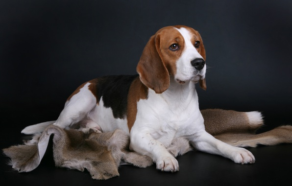 Picture dog, breed, Beagle