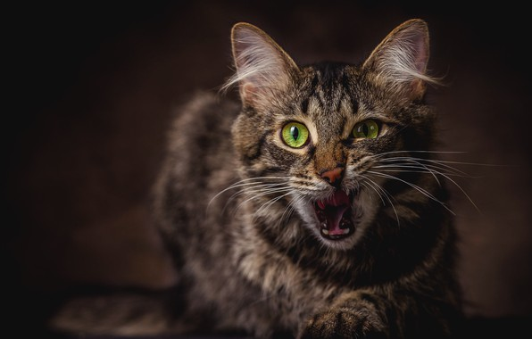 Picture language, cat, cat, face, the dark background, emotions, grey, portrait, mouth, the expression, green-eyed