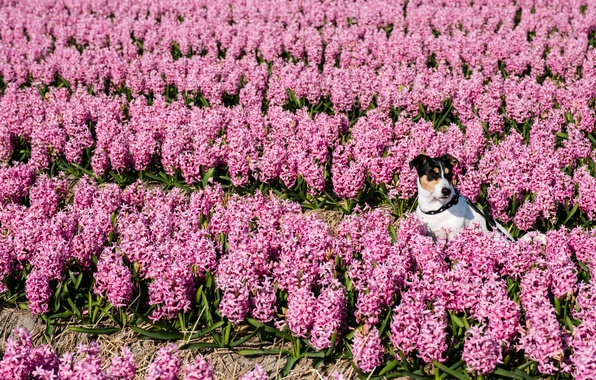 Picture flowers, dog, hyacinths