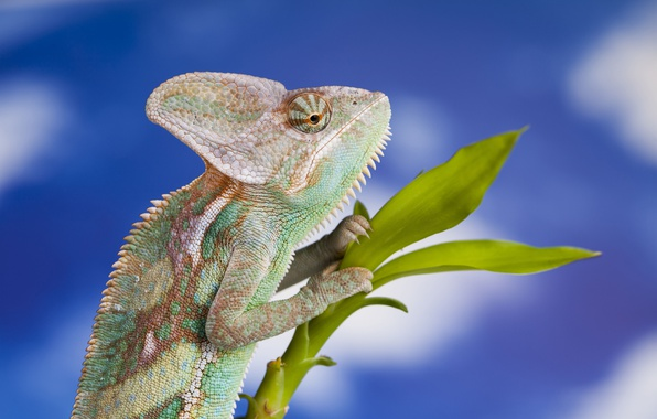 Picture the sky, nature, chameleon, branch, blur, lizard, animals, nature, bokeh, reptile, travel, wallpaper., my planet, …