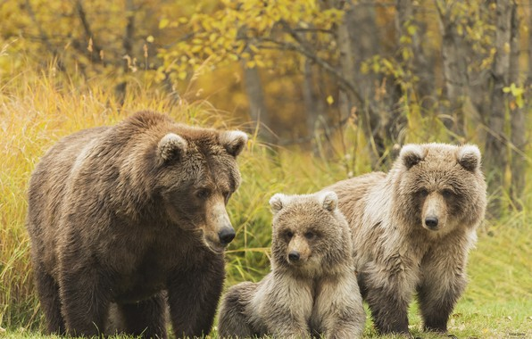 Picture family, bears, grizzly