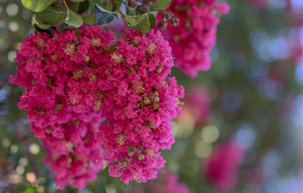 Picture nature, petals, inflorescence, Indian lilac, Lagerstroemia Indian