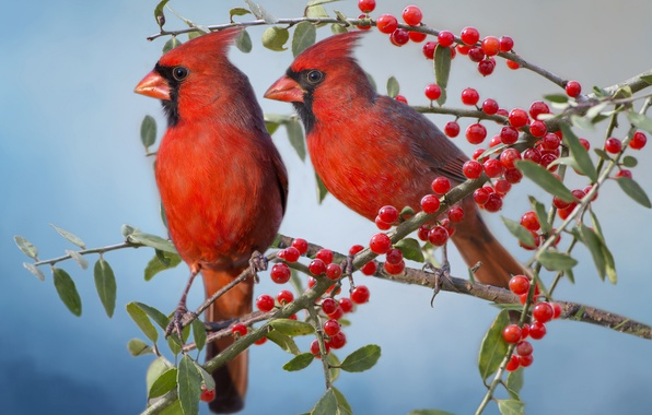 Picture birds, branches, berries, a couple, the cardinals, Red cardinal