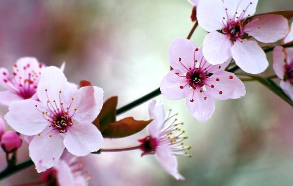Picture cherry, spring, garden, flowering