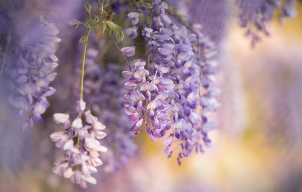 Picture flowers, nature, spring, Wisteria, Wisteria