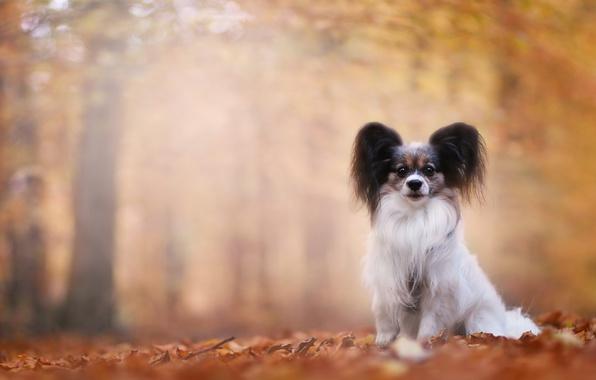 Picture autumn, dog, bokeh, Papillon, The continental toy Spaniel