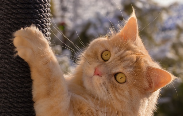 Picture cat, cat, look, paw, muzzle, red cat, scratching post