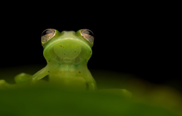 Photo wallpaper nature, background, Santa cecilia cochran frog, Teratohyla midas