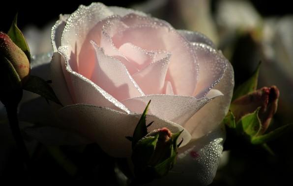 Picture Rosa, rose, petals