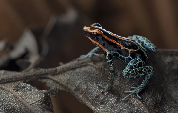 Picture jungle, Ranitomeya ventrimaculata, Red-backed poison frog