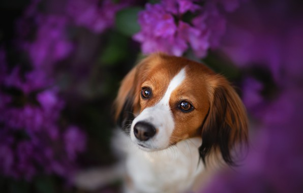 Picture look, face, flowers, dog, bokeh, Kooikerhondje