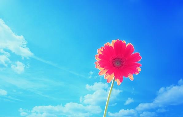 Picture the sky, nature, petals, gerbera