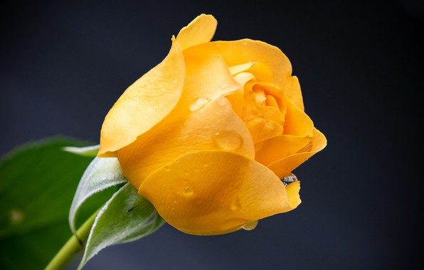 Picture flower, drops, rose, yellow