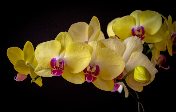Picture Orchid, Phalaenopsis, the dark background