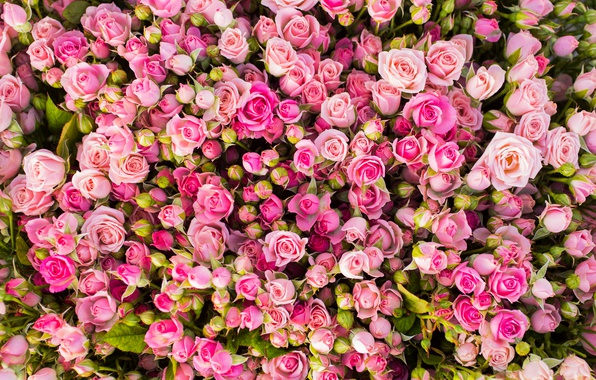 Picture flowers, roses, pink, buds, a lot