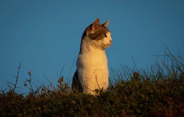 Picture cat, the sky, grass, cat, background, stand, observation, cat