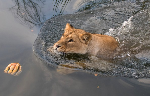Picture cat, look, face, water, wild cats, lioness, pond, swimming, floats, wildlife