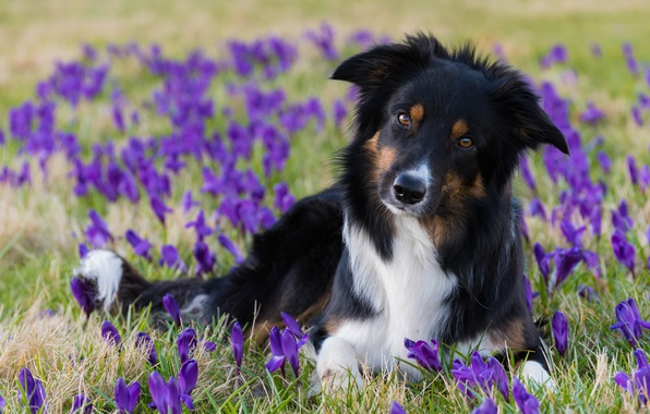 Picture look, flowers, dog, spring, crocuses, The border collie