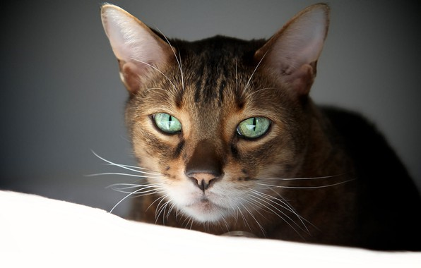 Picture cat, white, eyes, cat, look, face, background, dark, portrait, green, striped, green-eyed, Abyssinian, the Abyssinian