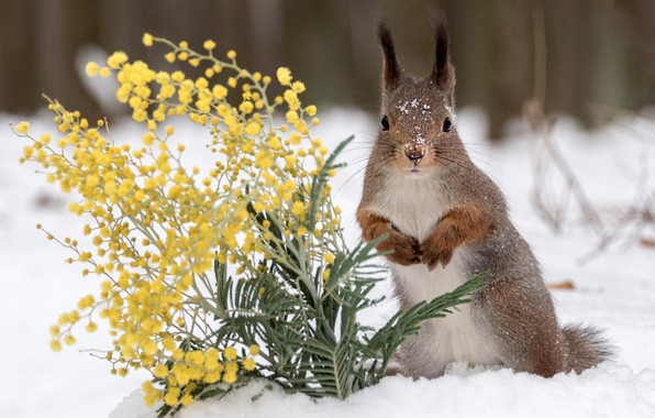 Picture winter, snow, flowers, protein, red, Mimosa