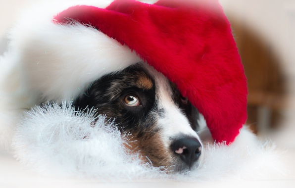 Picture look, face, dog, New year, cap, Australian shepherd, Aussie