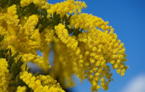 Picture yellow, bunch, Mimosa