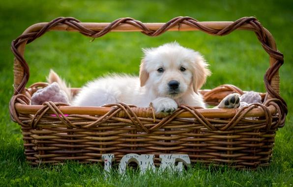 Photo wallpaper grass, basket, puppy, Retriever