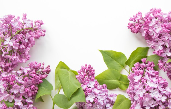 Picture leaves, white background, flowers, lilac