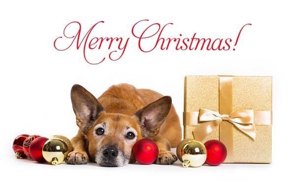 Photo wallpaper face, Christmas, New year, gift, dog, look, balls