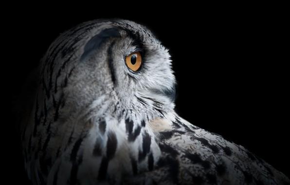 Picture background, owl, bird