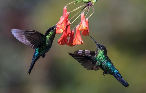 Picture birds, Hummingbird, pair, in flight
