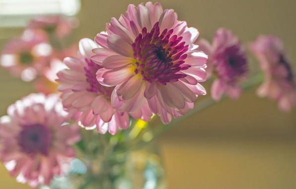Picture macro, bouquet, pink, chrysanthemum, bokeh